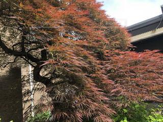 春も赤くなるベニシダレモミジの写真・画像素材[4367218]