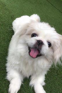 小さな白い犬の写真・画像素材[2279404]