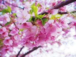 桜の写真・画像素材[4232184]