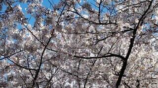 空,公園,花,春,桜,森林,屋外,樹木,草木,桜の花,さくら,ブロッサム,オーク