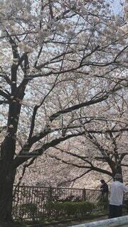 空,公園,花,春,桜,屋外,桜並木,樹木,草木,桜の花,さくら,ブロッサム
