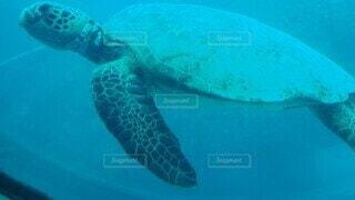 海,動物,ハワイ,カメ,海中,ウミガメ