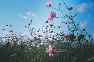 自然,屋外,ピンク,コスモス,青空,レトロ,フィルム,自然光,フィルム写真,フィルムフォト