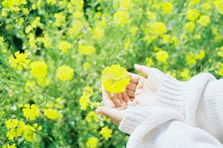 菜の花畑の写真・画像素材[3304738]