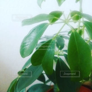 緑,葉,ハート,観葉植物,カポック