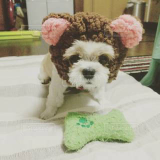 テディベア犬の写真・画像素材[2279765]