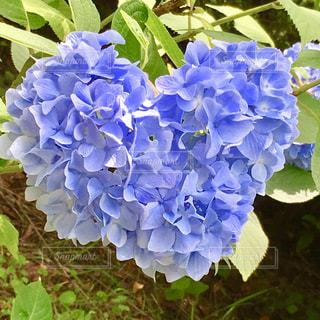 自然,屋外,あじさい,青,ハート,紫陽花,ハートマーク,ブルー,野外