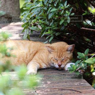猫,風景,公園,動物,屋外,かわいい,昼寝,葉,景色,木漏れ日,オレンジ,樹木,ねこ,ペット,寝る,人物,可愛い,野良猫,地面,石,茶トラ,日陰,草木,ネコ,ガーデン,おひるね