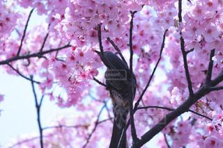 空,花,春,桜,鳥,木,ピンク,枝,花見,木漏れ日,鮮やか,満開,お花見,イベント,たくさん,野鳥,華やか,カラー,草木,陽気,蜜,ブロッサム