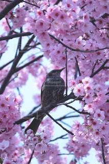 空,花,春,桜,鳥,木,ピンク,枝,葉,花見,木漏れ日,鮮やか,満開,樹木,お花見,イベント,とり,たくさん,野鳥,華やか,カラー,草木,陽気,ぽかぽか,ポカポカ,蜜