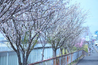 空,花,春,桜,木,屋外,ピンク,晴れ,青空,青,花見,桜並木,街,樹木,お花見,イベント,並木道,歩道,草木,陽気