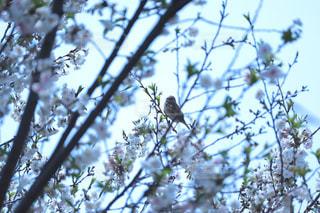 空,花,春,桜,鳥,木,屋外,ピンク,青空,枝,葉,花見,樹木,お花見,イベント,すずめ,雀,野鳥,スズメ,陽気