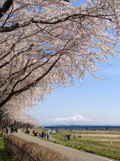桜と鳥海山の写真・画像素材[3033759]