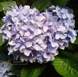 花,あじさい,紫陽花,草木