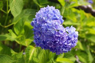 花,フラワー,紫,アート,ハート,紫陽花,ブルー