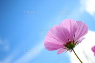 空,花,ピンク,コスモス,雲,青空,青,フラワー,可愛い,ブルー,天気,ラブリー,晴れた空