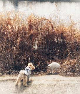 犬,猫,川,水辺,草,ねこ,白猫,枯れ草,可愛い,トイプードル,河川,お散歩,ネコ,イヌ
