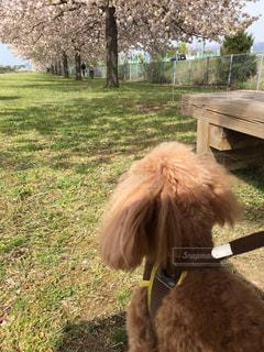 犬,桜,屋外,散歩,サクラ,レジャー,長野,お散歩,ライフスタイル,お天気,さくら,ワンコ