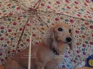 傘の下に犬の写真・画像素材[2230219]
