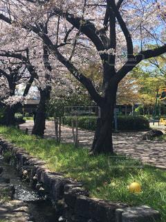 公園,散歩,桜並木,ボール,並木,忘れ物,並木道