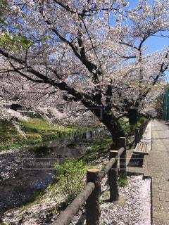 公園,桜,青空,散歩,桜並木,満開,川沿い,散歩道