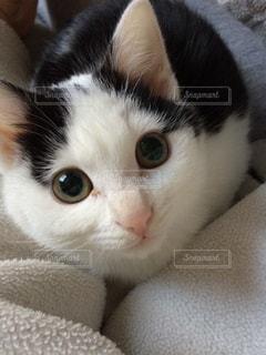 口を開けて白い猫の写真・画像素材[2292167]