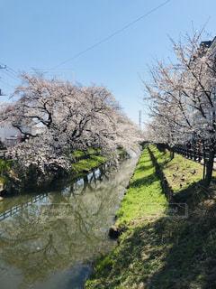 桜の写真・画像素材[2260472]