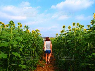 空,花,屋外,植物,ひまわり,雲,青空,散歩,向日葵,ブルー,ひまわり畑,レジャー,お散歩,ライフスタイル,おでかけ,お出掛け