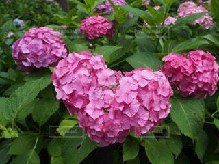 自然,風景,花,屋外,ピンク,緑,あじさい,景色,ハート,紫陽花,マーク,アジサイ