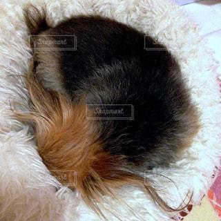 ベッドに埋もれる犬の写真・画像素材[2308122]