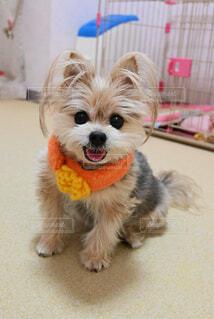 犬用マフラーもオシャレです♪ (2)の写真・画像素材[4124280]