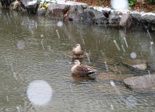 雪の中のカルガモ ( 2 )の写真・画像素材[4196731]