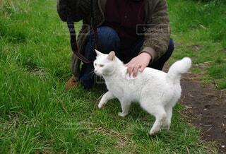 人好きな白猫さん♪ ( 1 )の写真・画像素材[4209205]