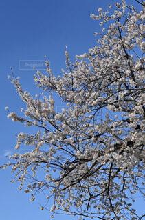 桜と青空 ♪の写真・画像素材[4345733]
