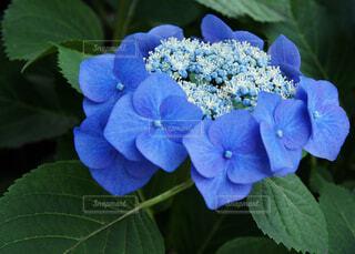 青色のガクアジサイの写真・画像素材[4364666]