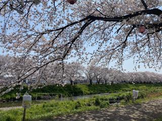 空,花,春,屋外,草,樹木,お花見,川沿い,草木,桜の花,さくら,ブロッサム,満開の桜,お花見日和