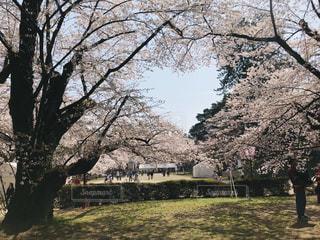 公園,春,桜,ピンク,ハート,さくら