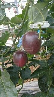 食べ物,果物,鹿児島県,パッションフルーツ,時計草,果樹,とけいそう,ルビースター,喜界島産,栽培風景,無加温栽培