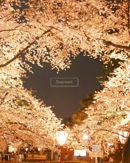 桜,屋外,ピンク,Instagram,ハート,夜間,インスタ映え