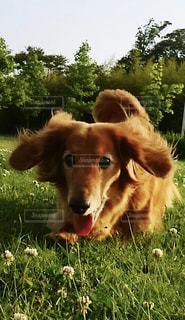 散歩中の犬の写真・画像素材[2260080]