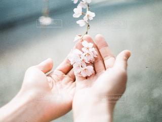掌と桜の写真・画像素材[2278405]