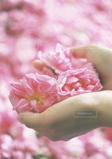 沢山の薔薇と手の写真・画像素材[2282345]