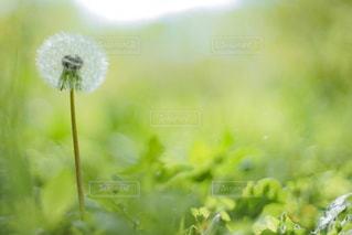 たんぽぽの綿毛クローズアップの写真・画像素材[2316531]