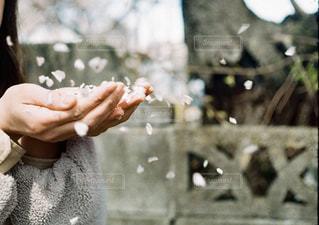 手のひらから待っている桜の花びらの写真・画像素材[2433222]