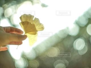 光に透かした銀杏と人の手の写真・画像素材[2648645]