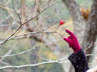 雪が降る中手袋つけて葉っぱを指差す女性の写真・画像素材[3005531]