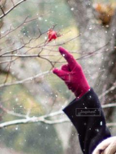 雪の中手袋をつけて枯葉を指差す女性の写真・画像素材[3005532]