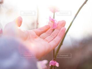枝垂れ梅を手に撮る女性の手の写真・画像素材[3032566]