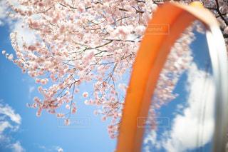 空,花,春,桜,木,散歩,花見,樹木,お花見,イベント,ミラー,新学期,桜の花,さくら
