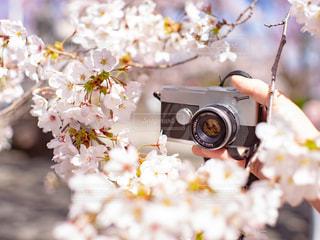 花,春,カメラ,桜,木,屋外,散歩,手,花見,お花見,人,イベント,趣味,フィルムカメラ
